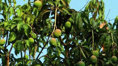 India expands mango export footprint to newer countries; GI certified Fazil mango shipped to Bahrain